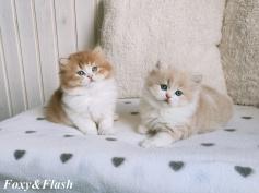 Highlander, Britisch Langhaar, seal golden tabby point, blaue augen, kitten